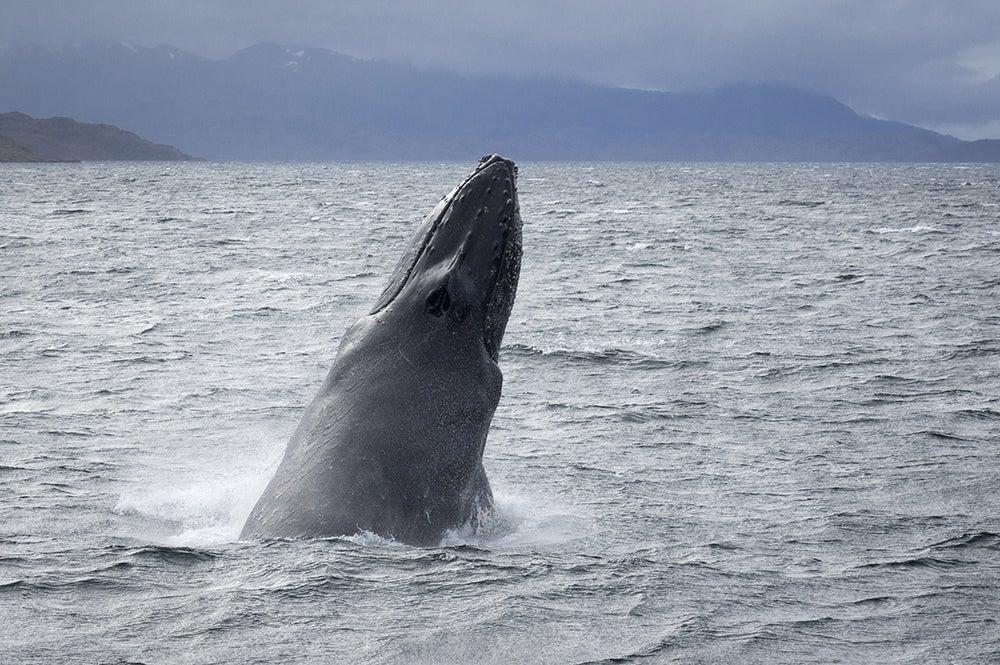 Ballena jorobada en el estrecho de Magallanes
