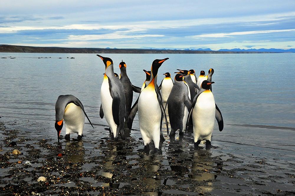 Pingüinos en el estrecho de Magallanes