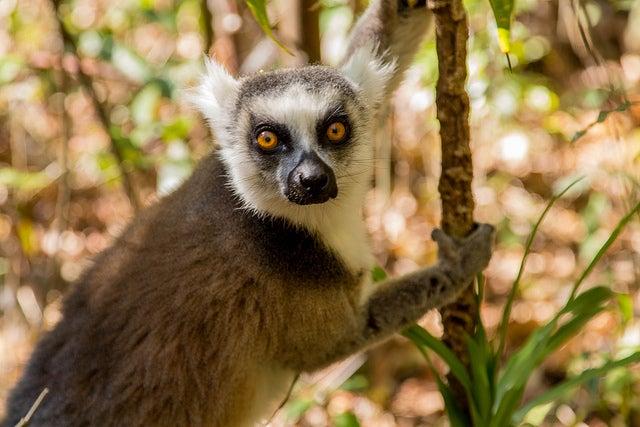 Lemur en la reserva de Anja en Madagascar