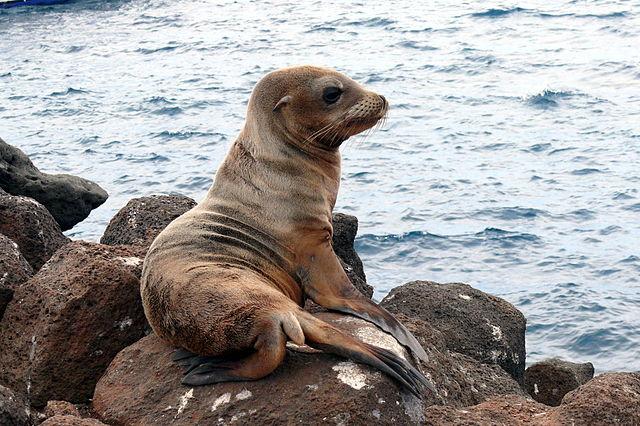 León marino de las islas Galápago