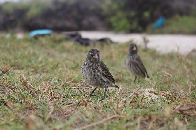 Pinzones de Darwin en las islas Galápagos
