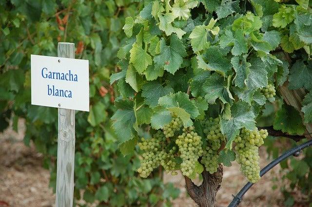 Uvas garnachas