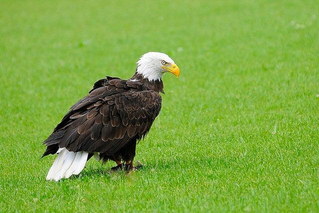 Águila en Tierra Rapaz en Calahorra