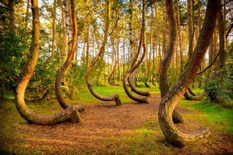 Crooked Forest en Polonia