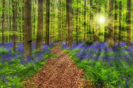 Bosques mágicos, Hallerbos en Bélgica