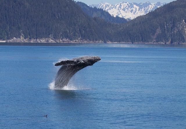 Ballena en los fiordos de Kenai en Estados Unidos