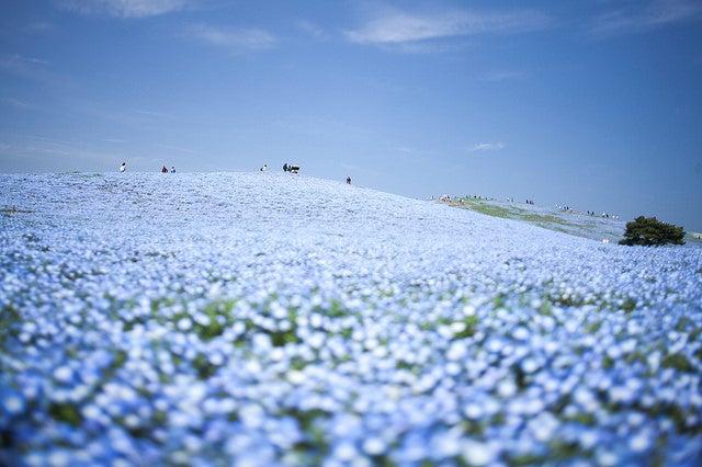 Hitachi Seaside Park en primavera