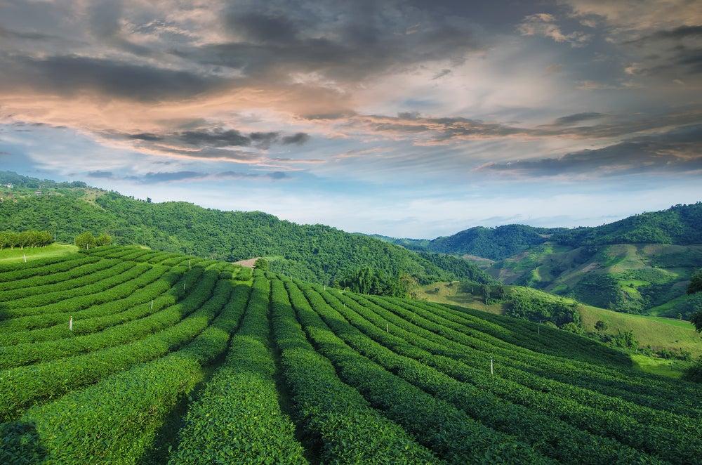Plantaciones de te en Mae Salong en Tailandia