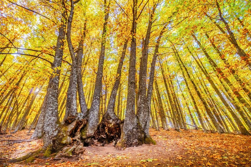 Bosques españoles: castañar de El Tiemblo