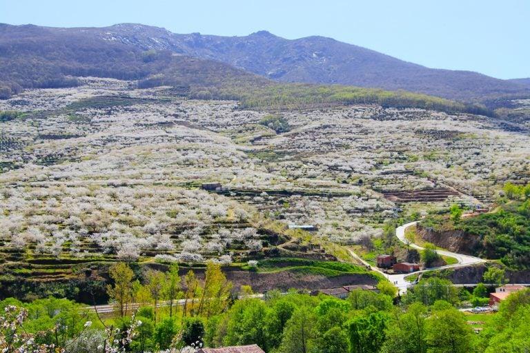 La mejor época para ver los cerezos en flor del Valle del Jerte