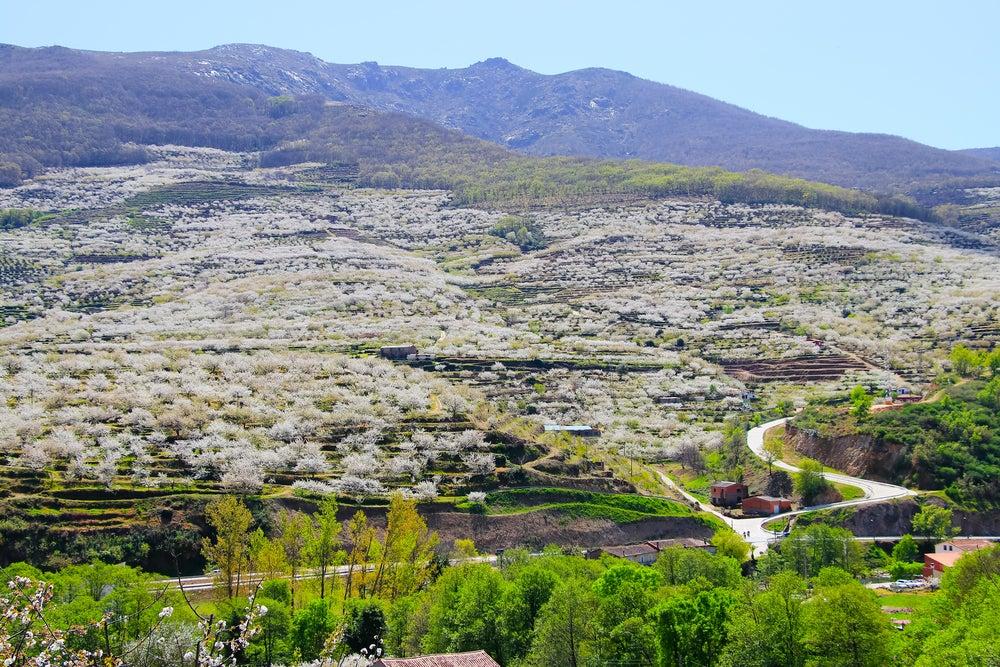 La Mejor época Para Ver Los Cerezos En Flor Del Valle Del Jerte Mi