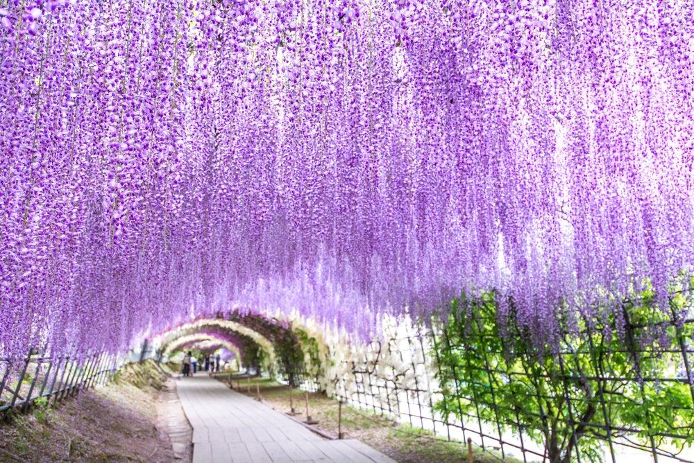 Túnel de wisteria en Kawachi Fuji en Japón