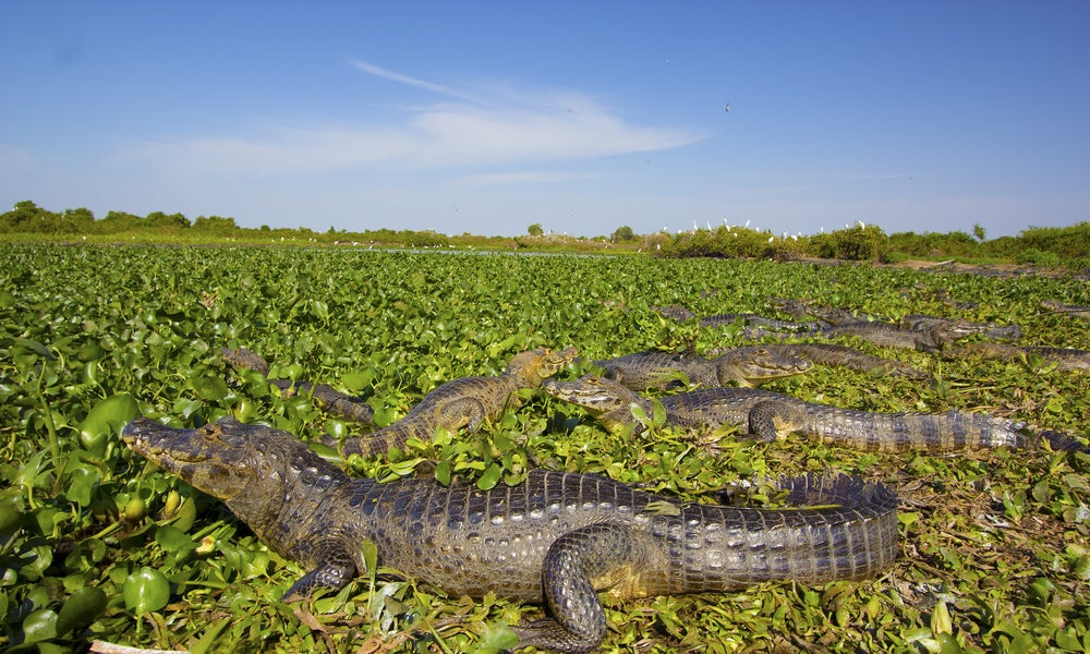 Pantanal de Mato Grosso en Brasil