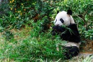Panda gigante en el zoo de Singapur