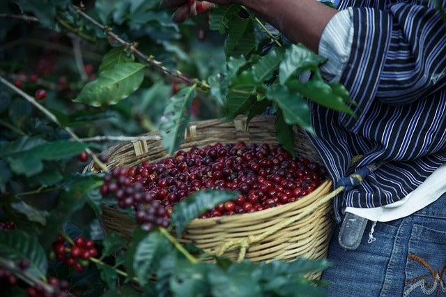 Mujer recolectando café