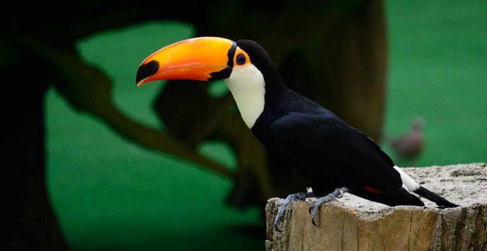 Tucán en Jurong Bird Park