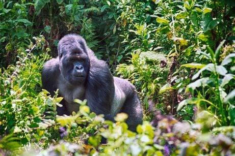 Gorila de Montaña en Ruanda