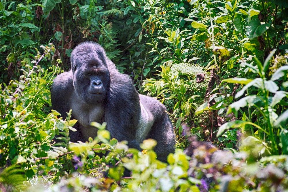 Gorila de Montaña en Uganda