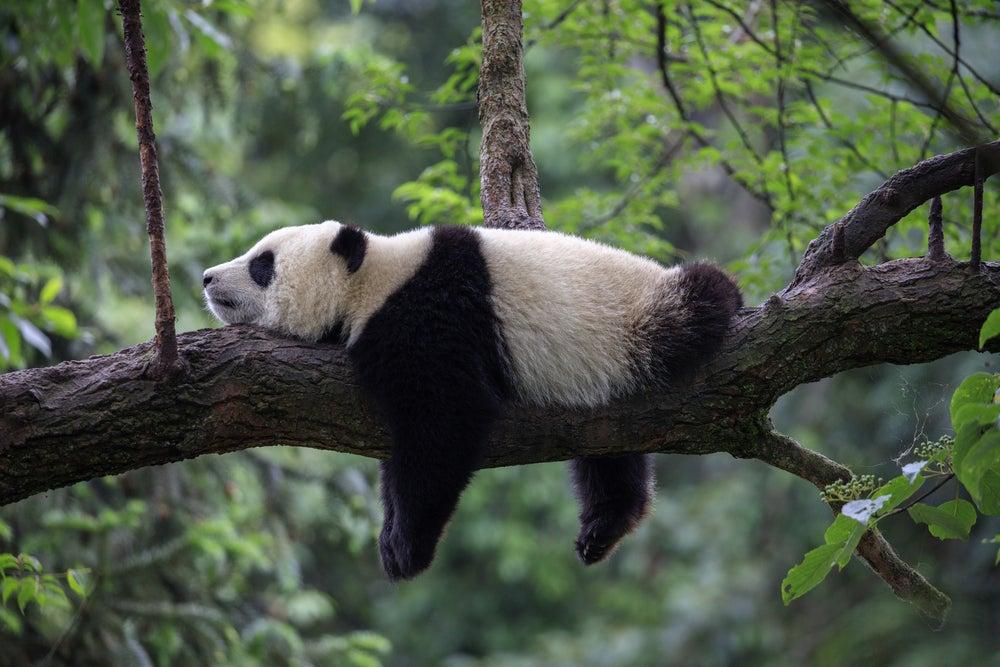 Acaricia pandas y prueba la rica comida de Sichuan en China