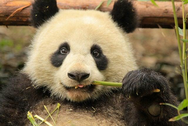 Panda en Sichuan