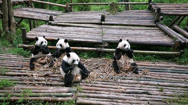 Pandas en Sichuan
