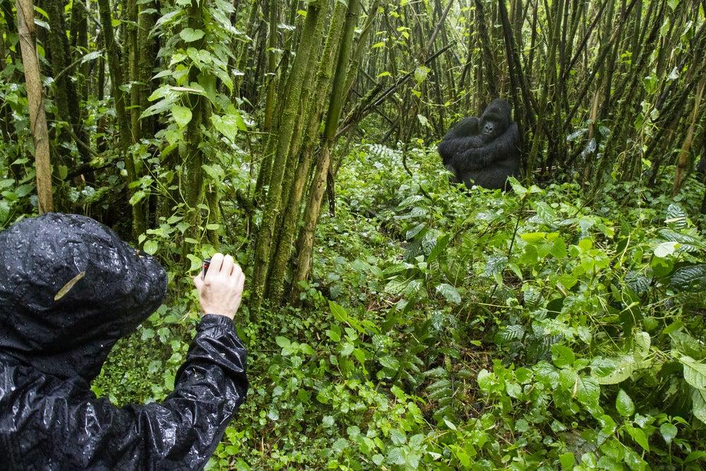 Ver gorilas de día y tomar un café por la noche en Kigali