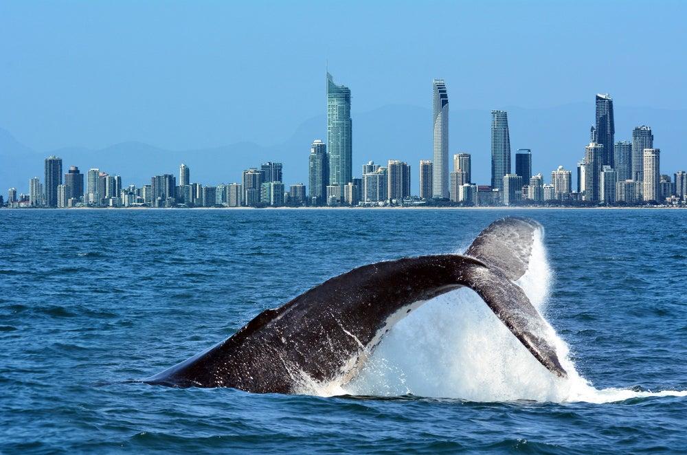 Ballena en Surfers Paradise, Australia