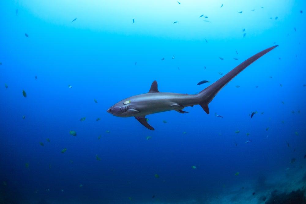 tiburón zorro en la isla de Malapascua
