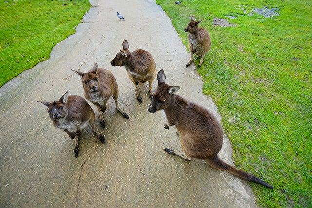 Ballarat Wildlife Park, uno de los lugares en Australia para ver canguros