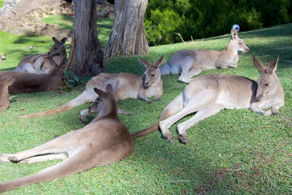 Canguros en el Currumbin Wildlife Sanctuary