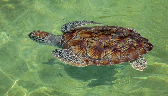 Granja de tortugas en islas Caiman