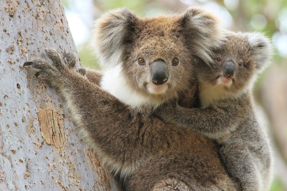 Los mejores lugares en Australia para ver koalas y canguros