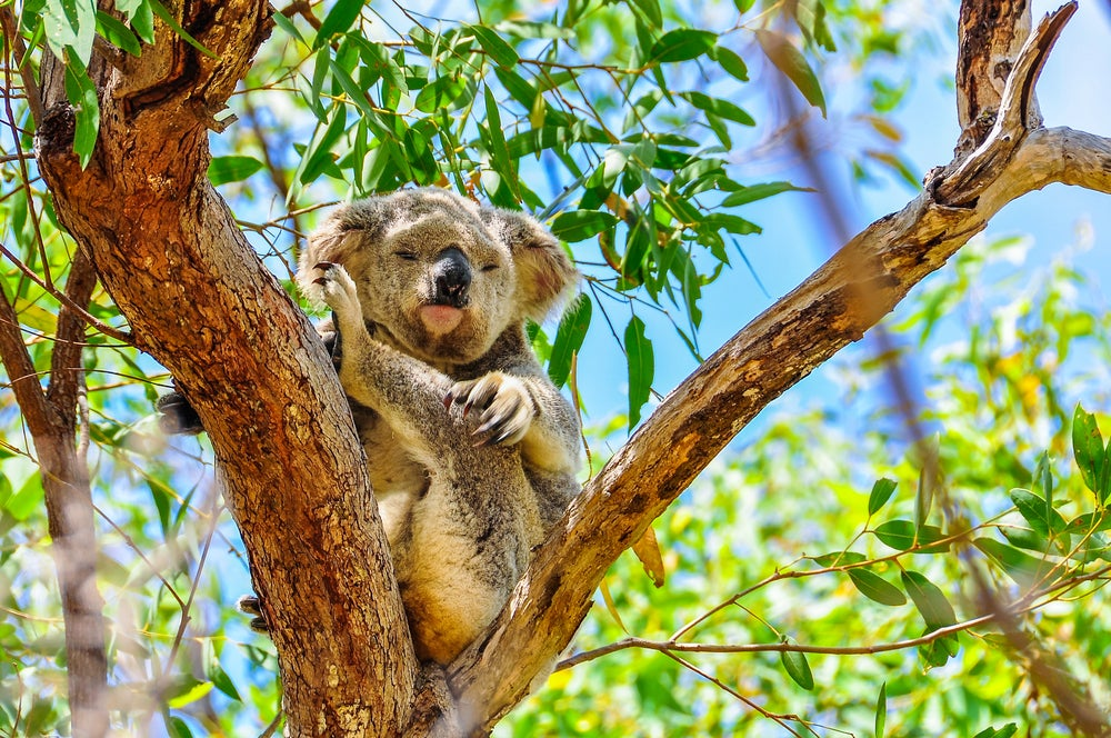 Koala en Magnetic Island