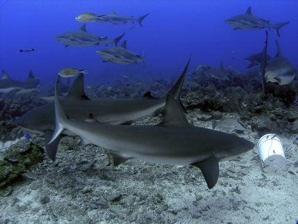 Tiburones en los arrecifes de Roatán
