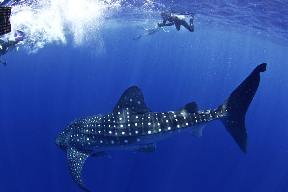Submarinista y tiburón en Útila