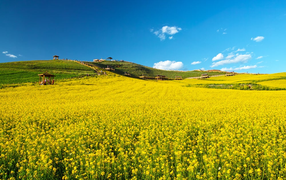 Campo de canola en China