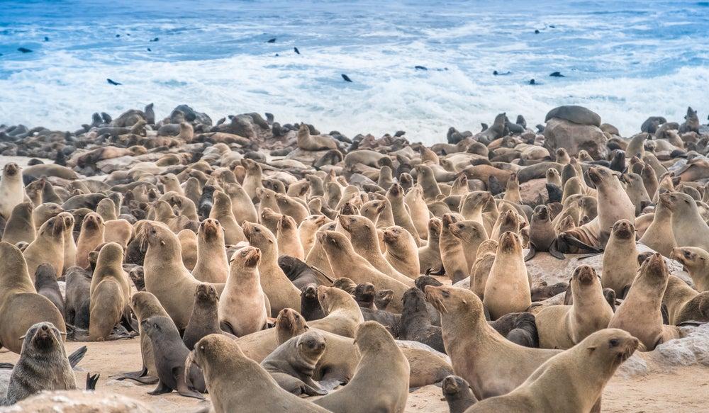 Lobos marinos en Cape Cross en Namibia