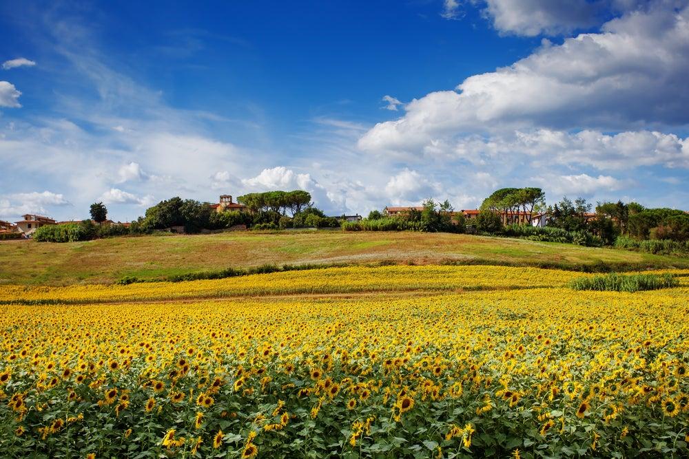 Campo de girasoles en la Toscana