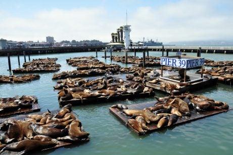 Leones marinos en el muelle 39