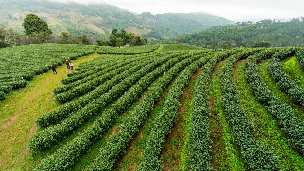 Plantación de té en Mae Salong