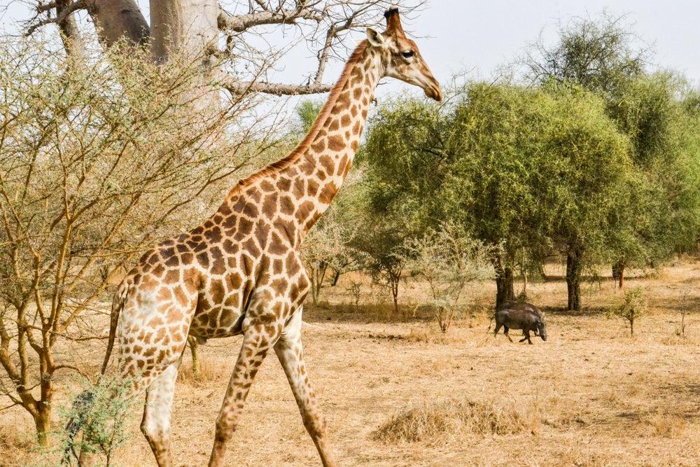 Jirafa en una reserva natural en Senegal