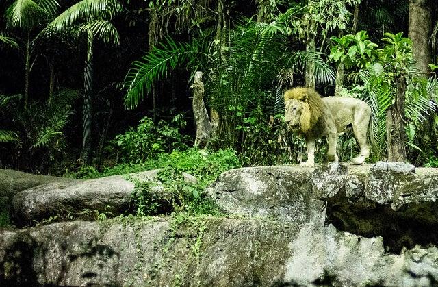 León en el Night Safari