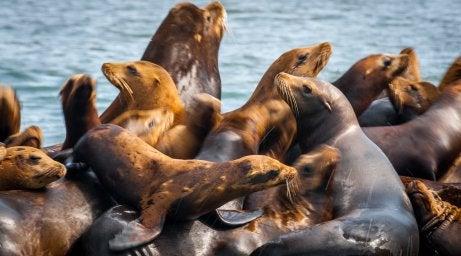 Leones marinos en Monterrey en Estados Unidos