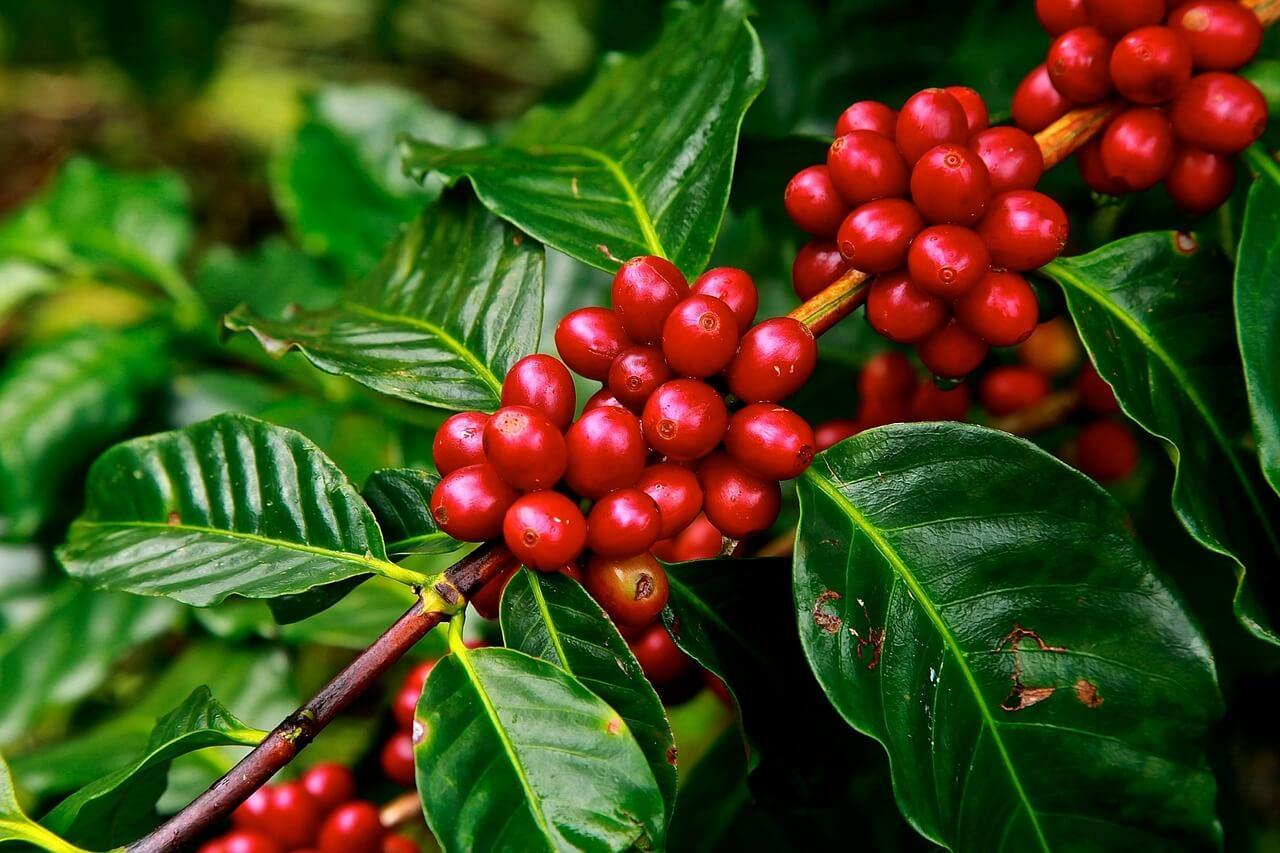 Planta del café con granos