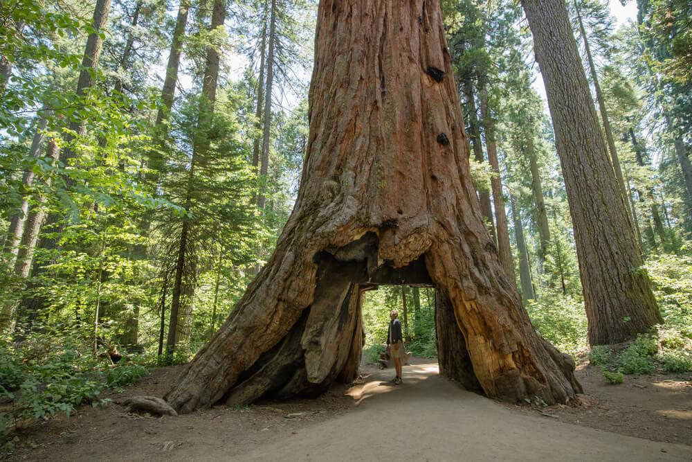 Secuoya en Calaveras Big Trees, en la Costa Oeste de Estados Unidos