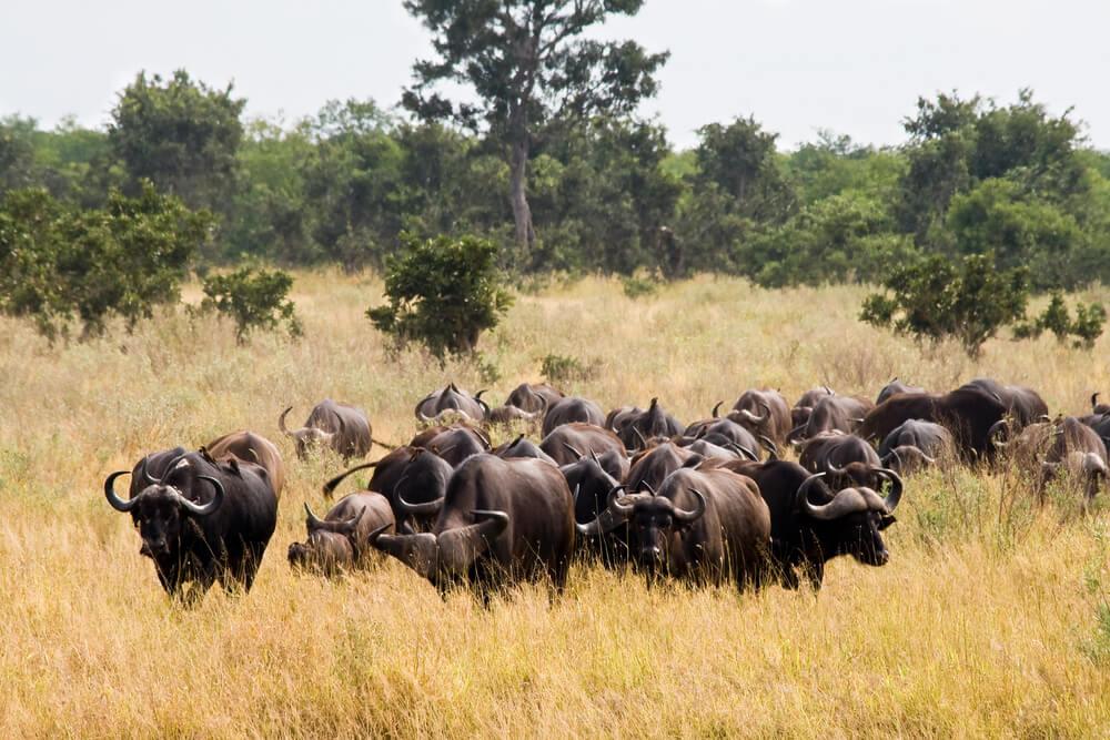 Búfalos en el Parque Kruger