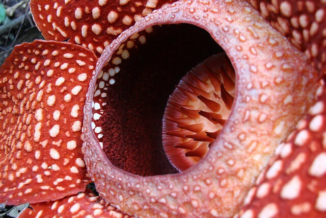 Detalle de una Rafflesia