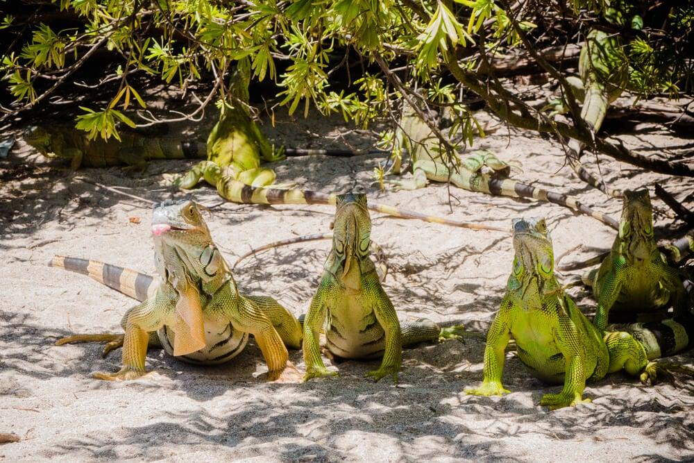 Iguanas en San Andrés