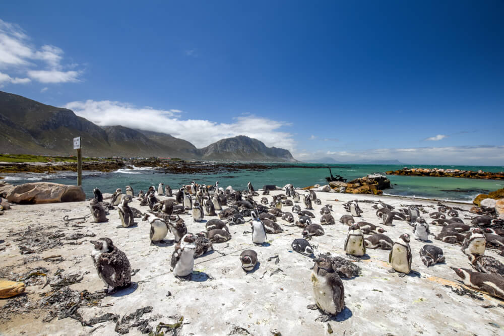 Pingüinos en Stone Point, Walker Bay