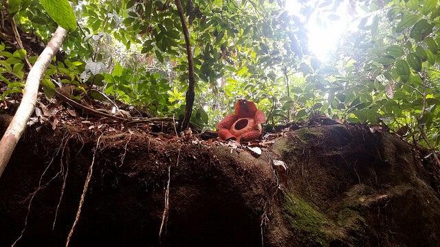 Rafflesia en un árbol